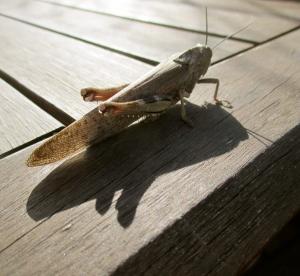 A giant locust